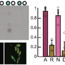 Beispiele der in der Arbeit erzielten Daten (im Uhrzeigersinn): Ergebnisse der Methylierung eines Peptidarrays mit METTL9, experimentellen Präferenzen von METTL9 für verschiedene Aminosäuren in HXH Sequenzen, Expression von METTL9 und verschiedenen Markerproteinen in einer humanen Zelllinie. Foto: IBTB
